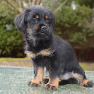 Gorgeous and healthy Yorkipoo X Terrier puppy
