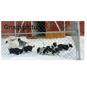 Blue Heeler / Border Collie Cross Puppies ☆☆ONLY 1 LEFT ☆ ☆