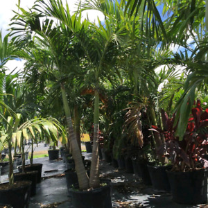 Live Palm Tree Summer Rentals. Tropical Plants