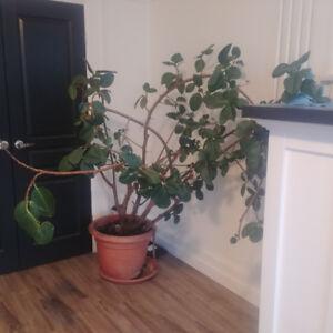 Massive Indoor Rubber Tree