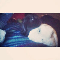 2 female holland loo rabbits for sale to good home