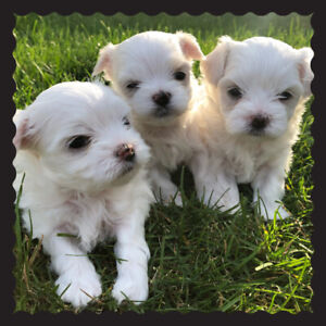 Adopt Dogs & Puppies Locally in Brantford | Pets | Kijiji Classifieds