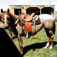 2010 papered Red Roan mare