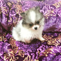 ❤️TEACUP & TOY POMERANIAN PUPPIES❤️