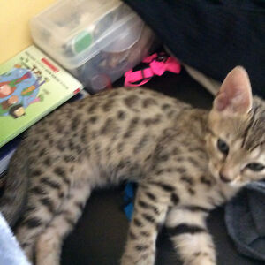 Exotic pure bred F4 Bengal Cubs! Only 2 left! Amazing spots!