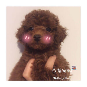 All Sold!! rare red toy-sized poodle puppies NEXT litter on Sept