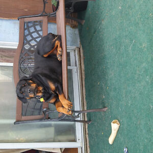 2 1/2 year old Female Rotti