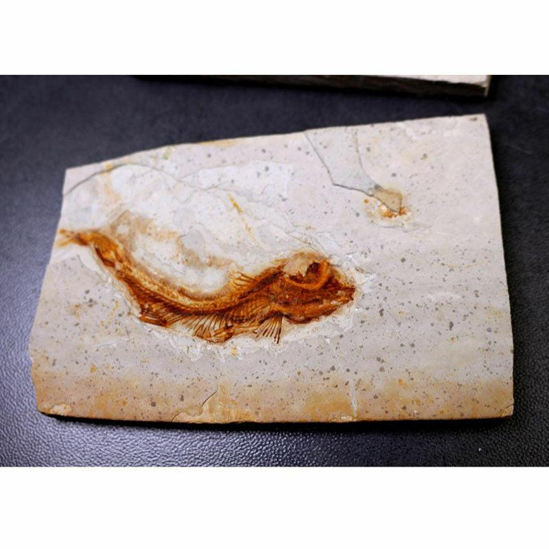 150 Million Years Ago Genuine Bony Fosslien Lycoptera Real Fossil Fish China