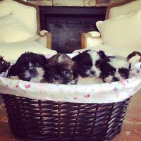 Teddybear Shorkie Puppies! Hypoallergenic and Nonshedding