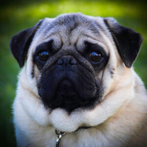 Pug Puppy | Adopt Dogs & Puppies Locally in Ontario | Kijiji
