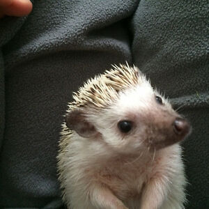 hérisson hedgehog