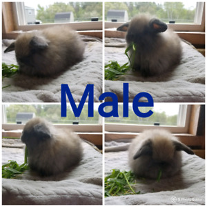 2 bunnies and 1 adult holland lop