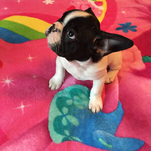 French Bulldog Puppies 1 left ready to go now :)