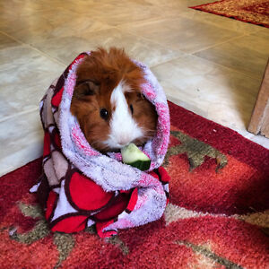 Looking to Re-home Four Guinea Pigs