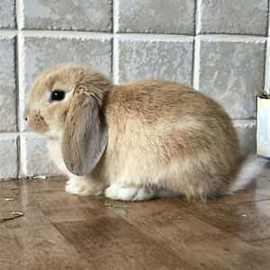 Lop Rabbit for Sale