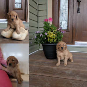 Golden Retriever Puppy | Adopt Dogs & Puppies Locally in