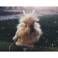 Young Lion Head Bunny Rabbit for Sale with everything needed!