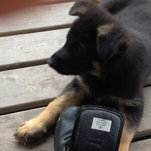 German Shepherd Pups For sale Only one female left!!!!!