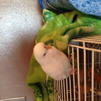 Beautiful English budgies for sale