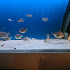 Fish Silver Dollars x 9