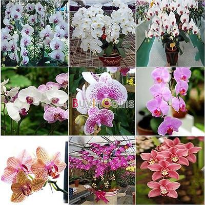 20/100Pcs Bonsai Plant Butterfly Orchid Seeds Mini ...