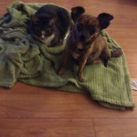 2 pure bred chihuahua's for sale