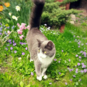 Reward for returning Lost cat - long haired blue-grey and white
