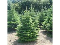 Real Christmas Trees - Order For Delivery NOW! - Great Value