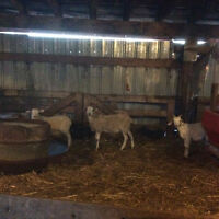 Lamb and goat for sale
