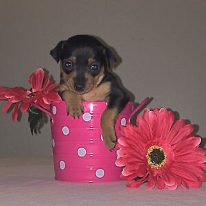 PB Miniature Pinscher Puppies-ONE MALE & FEMALE (READY JULY 25)