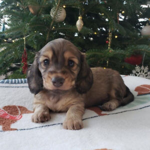 Ckc Registered Long Haired Miniature Dachshund Puppies