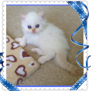 ♥️Extreamly Adorable Pure Breed Flame Point Himalayan Kitten♥️