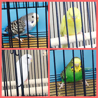 4 beautiful BUDGIES and Deluxe Cage