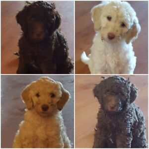 Labradoodle Puppies *ONLY 1 LEFT! Out of 7 beautiful puppies
