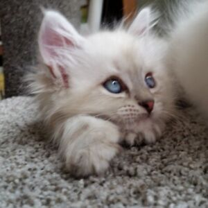 Sister Siberians-Hypoallergenic/PURE BRED