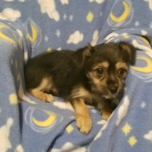 Chorki Male Puppy