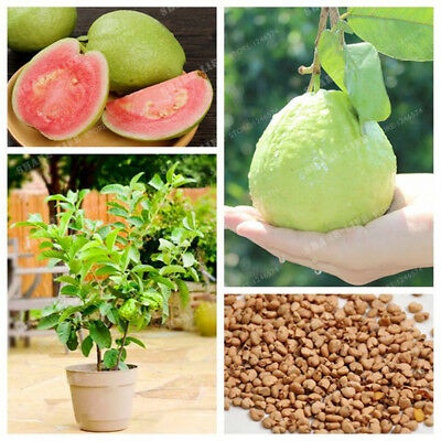 Guava Seed Organic Vegetable Fruit Psidium Guajava Seeds Bonsai Guava Tree Plant