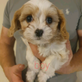 Fabulous litter of Cavachon Puppies