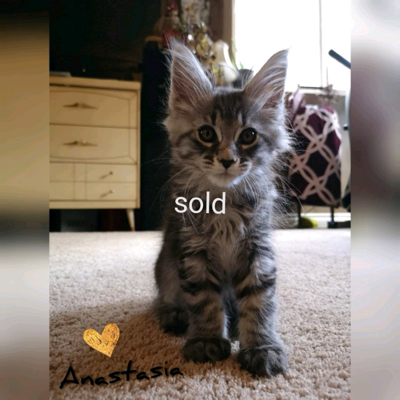 Purebred registered European Maine Coons   Cats & Kittens