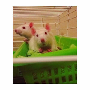 2 rats; free with cage