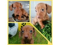 2 beautiful Dachshund puppies looking for their forever homes