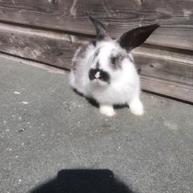 Beautiful rex X lop eared rabbits