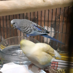 Budgies 2 to 4 months