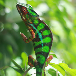 Vohemar Panther Chameleons
