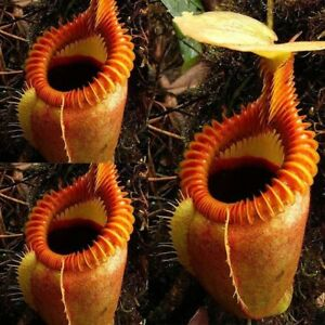 120 Seeds Rare Nepenthes Flytrap Balcony Potted Bonsai Plant Plants Carnivorous