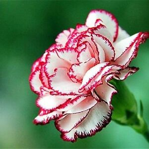 50 CARNATION PINK PICOTEE PERENNIAL SEEDS, VERY HARDY BORDER PLANTS, 50 SEEDS