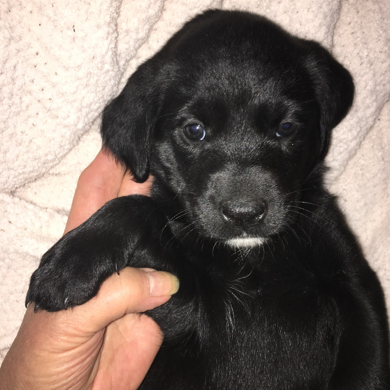 Black Lab x Catahoula puppies, go to forever homes Sept 15