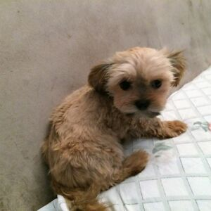 TeaCUP  MALE  Shorkie  searching for his forever home