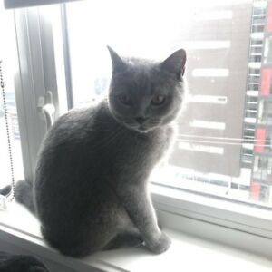 Male British Shorthair for sell