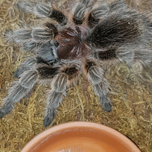 Wanted Mm or male g rosea / g porteri